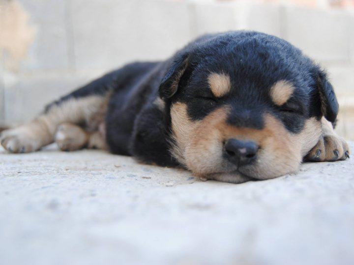 Warum drehen sich Hunde eigentlich, bevor sie sich hinlegen?