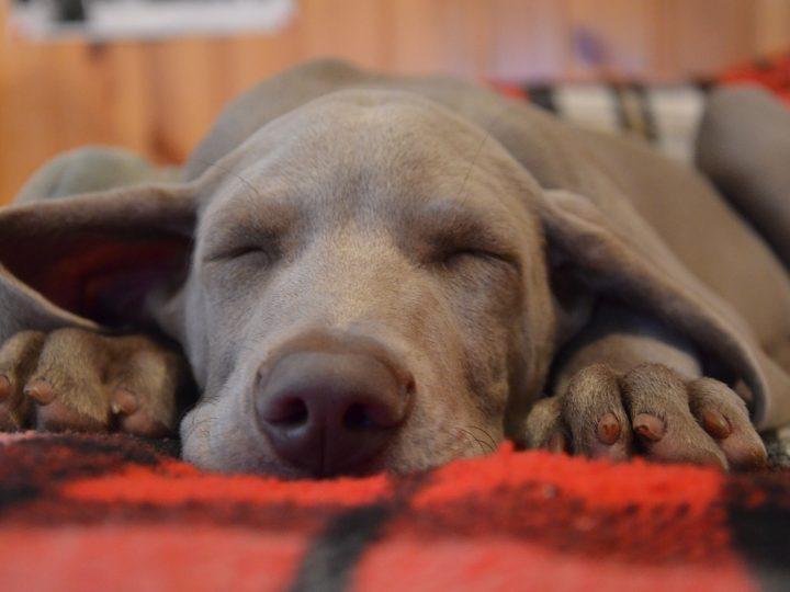 Warum schläft mein Hund soviel?