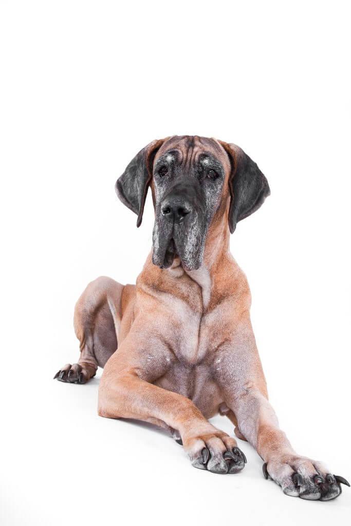 Größter Hund, Dogge